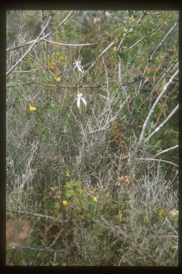 オーストラリア南西部の地生ラン(2)